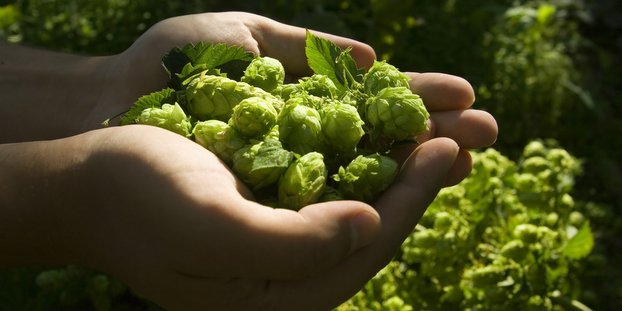 Hop Quality Group announces winner of annual Cascade hop award