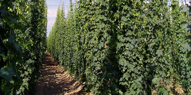 Just how much has demand shifted to aroma hops?