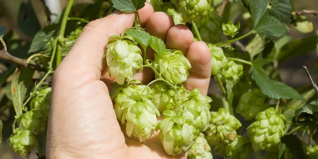 Canada is growing more than 300 acres of hops (at a cost of about $50,000 an acre)
