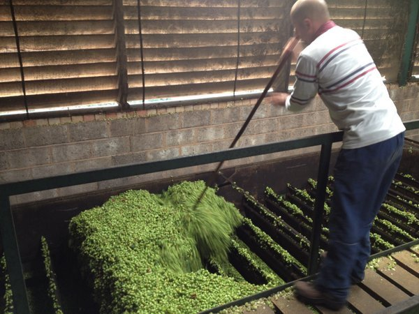 Hops moving through kiln layers