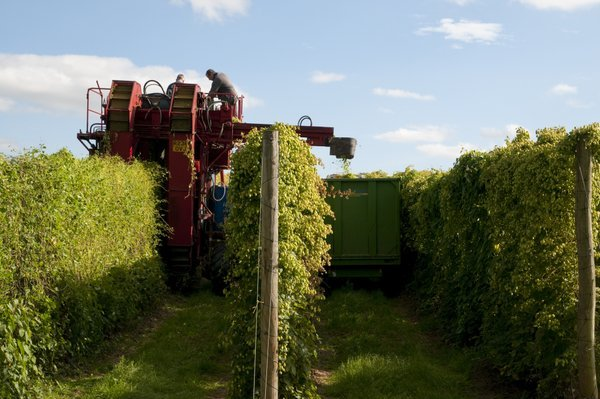 Picking low trellis hops
