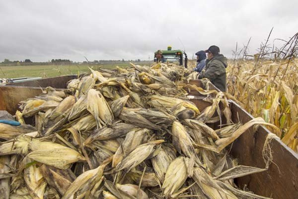 Rogue Farms hand picks its Wigrich Corn on a cold and wet November morning.
