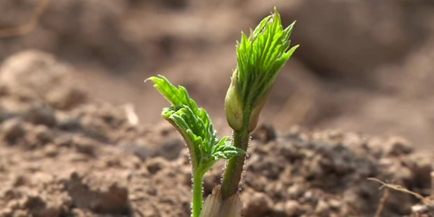 hops Growing season gets underway