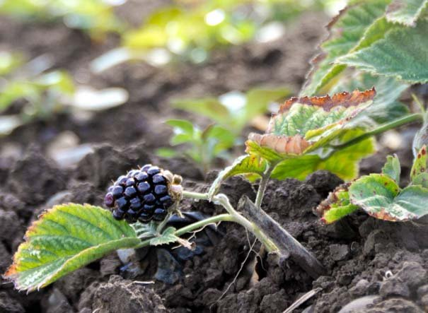 Planted in May, Rogue Farms' first berries of the season appeared in July.