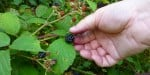 forage berry picking hiking