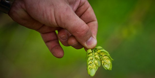 Oregon State University and Indie Hops merchant develop danky new Strata hop