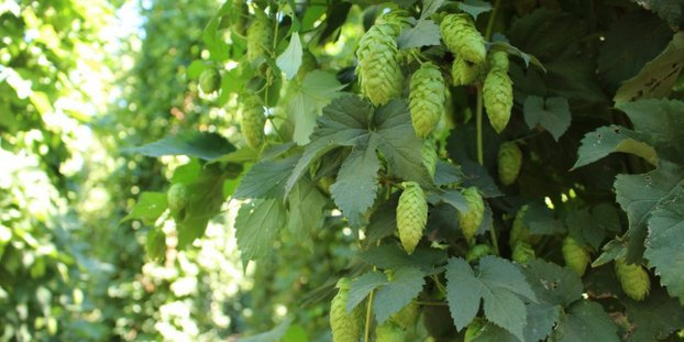 Hopsteiner's Denali, Lemondrop hops perfect for your next New England IPA